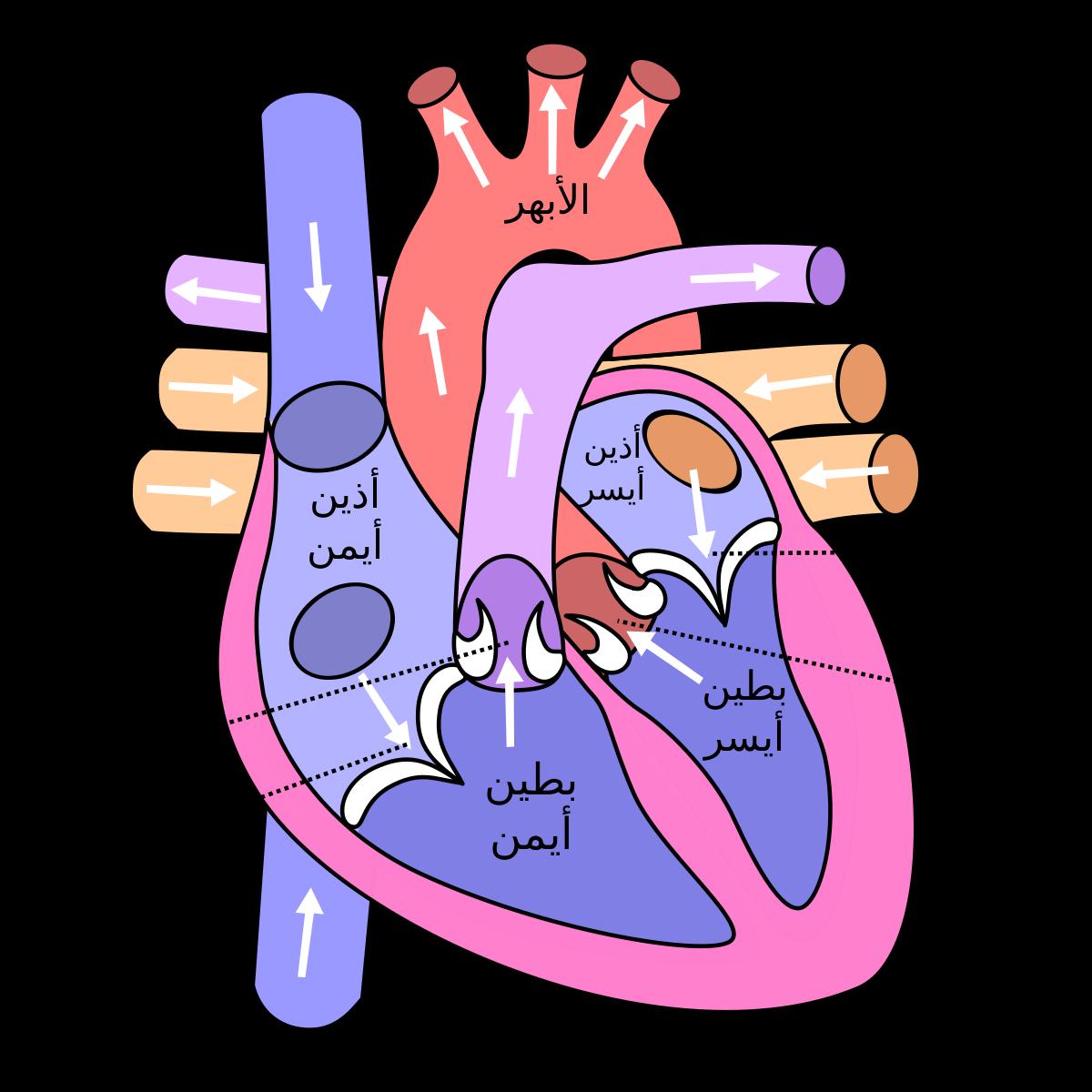 صورة صور قلب الانسان , بالصور شكل قلب الانسان