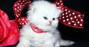 صور قطط جميلة , بالصور اجمل قطط فى العالم