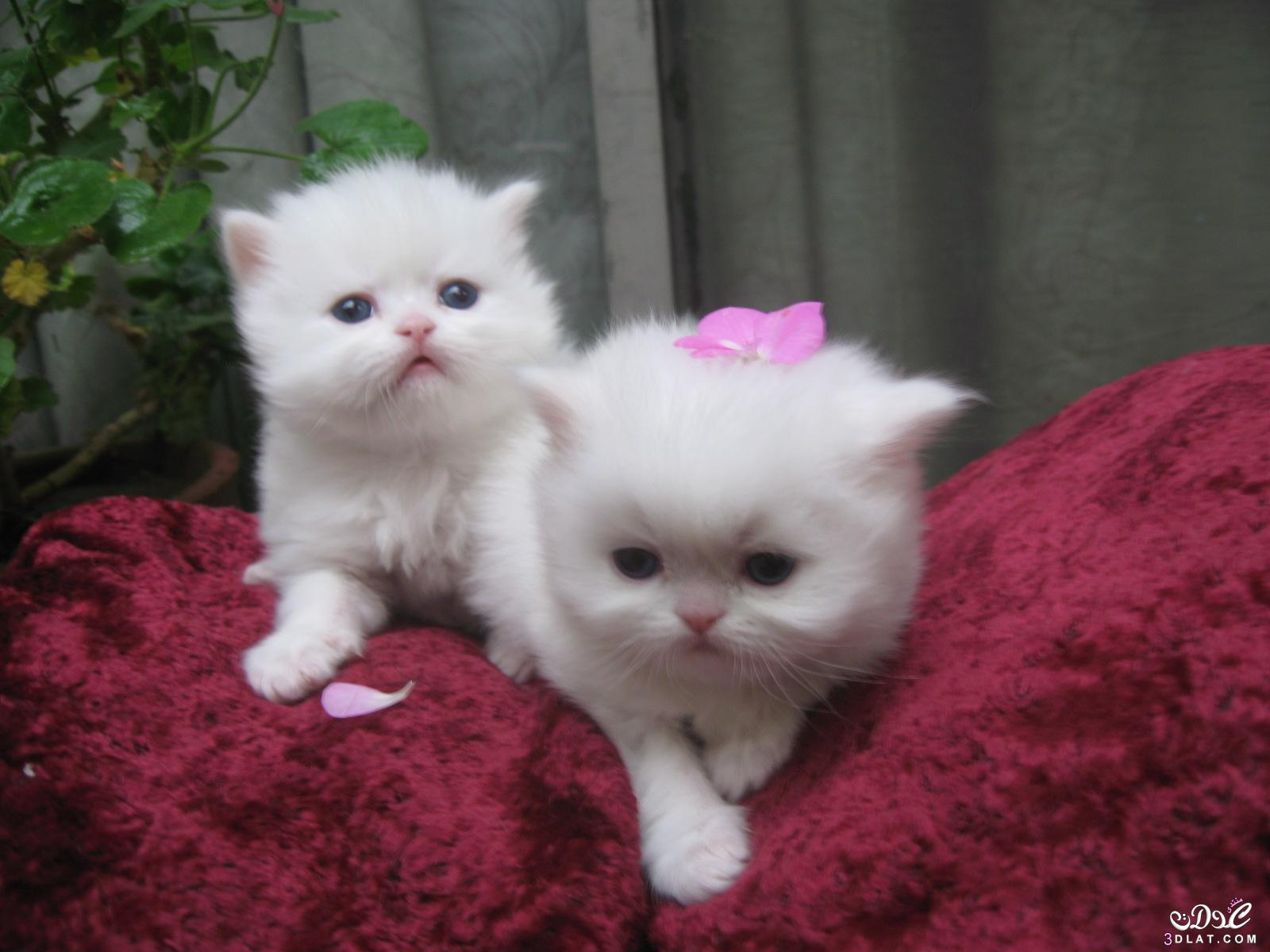 بالصور صور قطط جميلة , بالصور اجمل قطط فى العالم 5860 3