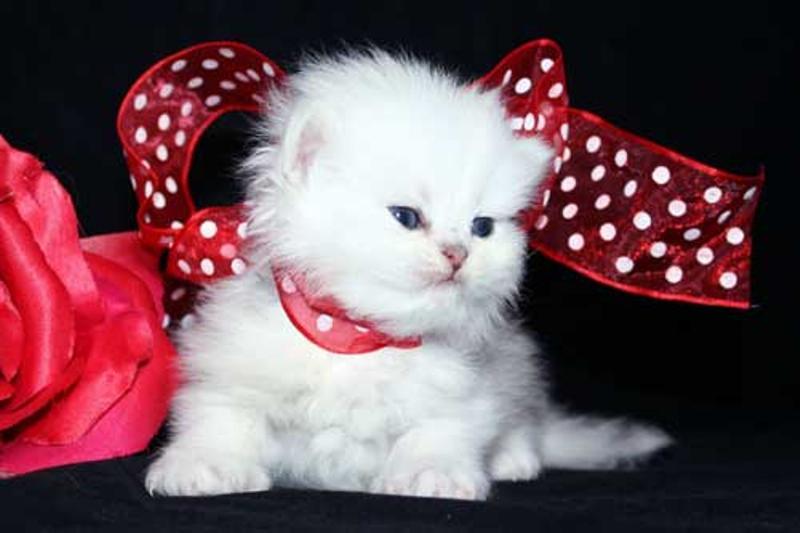 صوره صور قطط جميلة , بالصور اجمل قطط فى العالم