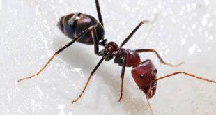 معلومات عن النمل , معلومات غريبة عن النمل