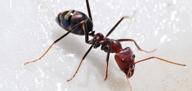 صورة معلومات عن النمل , معلومات غريبة عن النمل
