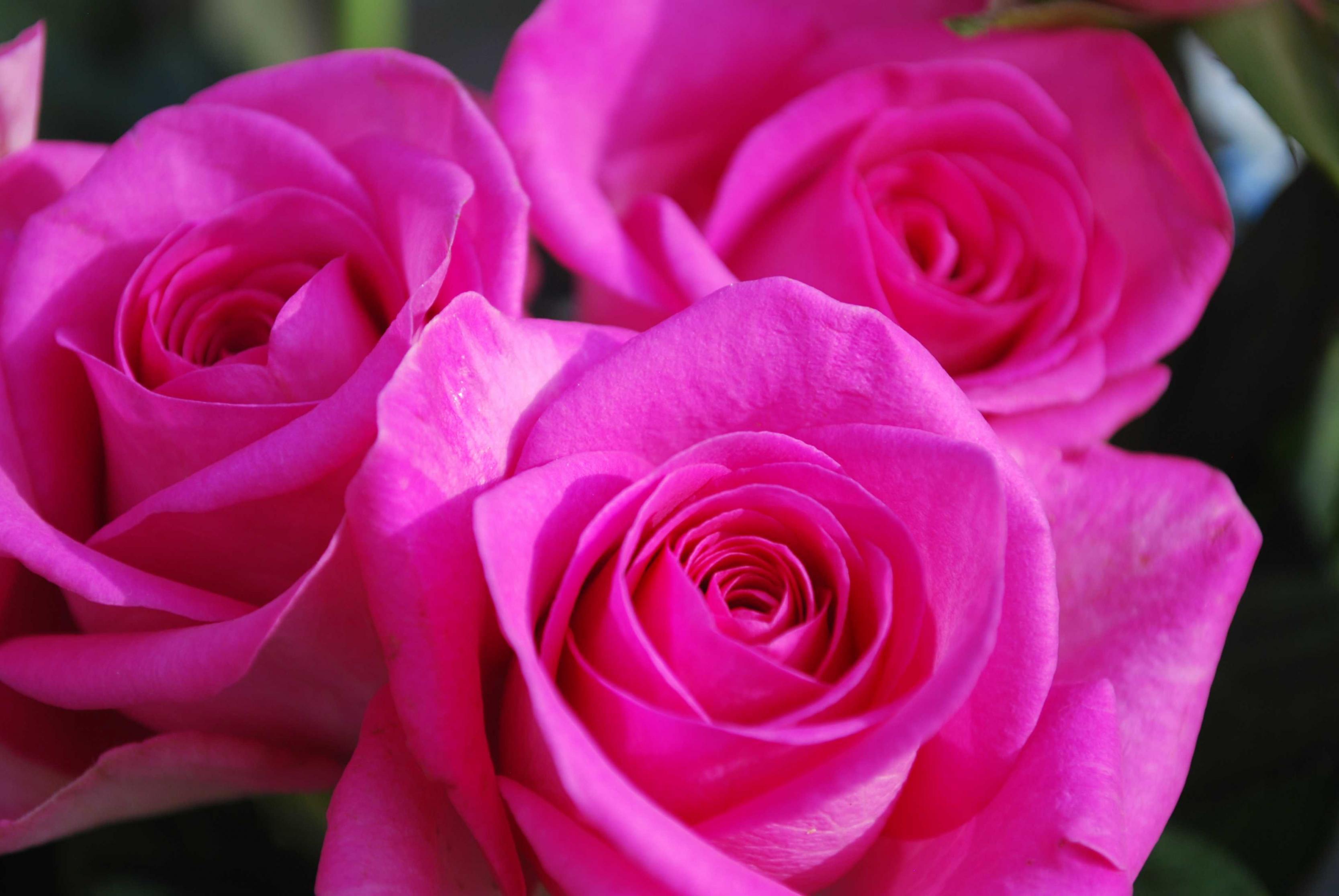 صورة صور ورد خلفيات , اجمل صور الورد