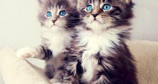 اجمل صور قطط , اجدد صور القطط