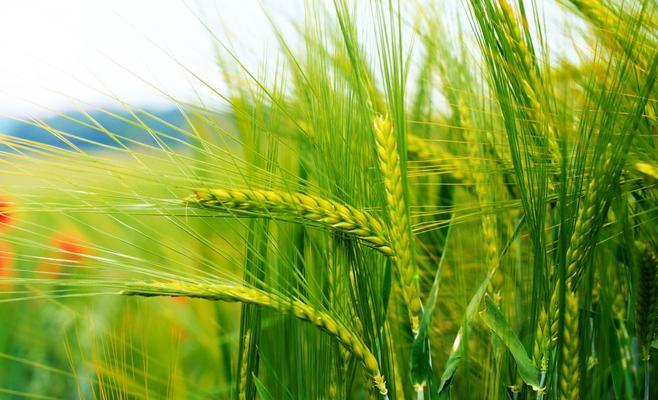 صورة عشبة القمح , فوائد عشبة القمح للصحة والحيوية