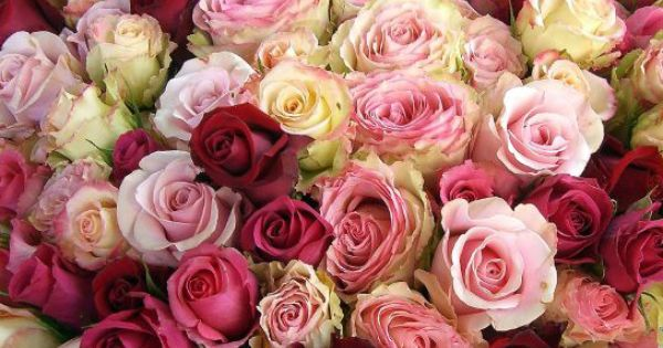 بالصور صور اجمل الورود , بالصور اجمل الورود الطبيعيه 6057 1