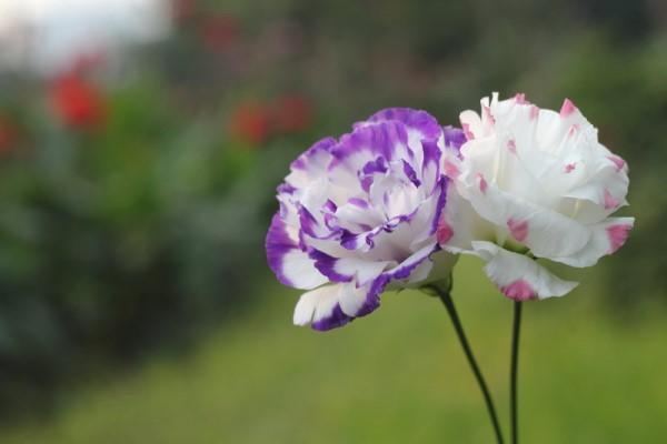 بالصور صور اجمل الورود , بالصور اجمل الورود الطبيعيه 6057 9