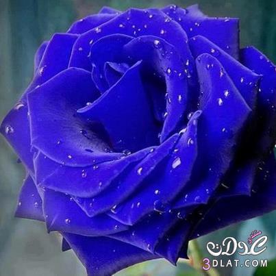 صوره صور اجمل الورود , بالصور اجمل الورود الطبيعيه