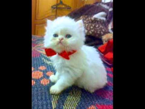 صوره قطط هملايا , بالصور احلى قطط هملايا