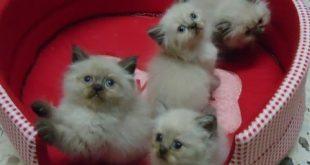 قطط هملايا , بالصور احلى قطط هملايا