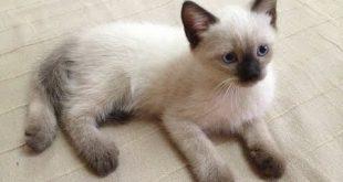 صور قطط سيامو , اجمل الكائنات اللطيفة والاليفة القطة السيامو