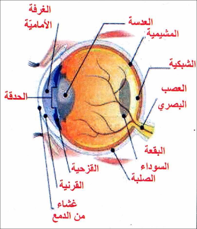 بالصور مكونات العين , معلومات عن العين وتفاصيلها الدقيقة واجزائها الداخلية 1282
