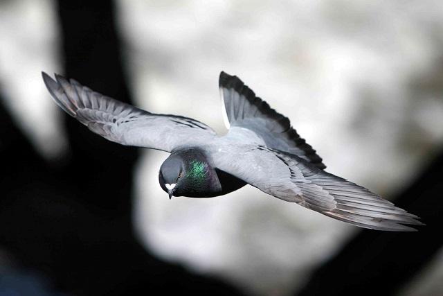 بالصور حمام زاجل , اطيب وارق الطيور الحمام الزاجل في صور جميلة 1329 9