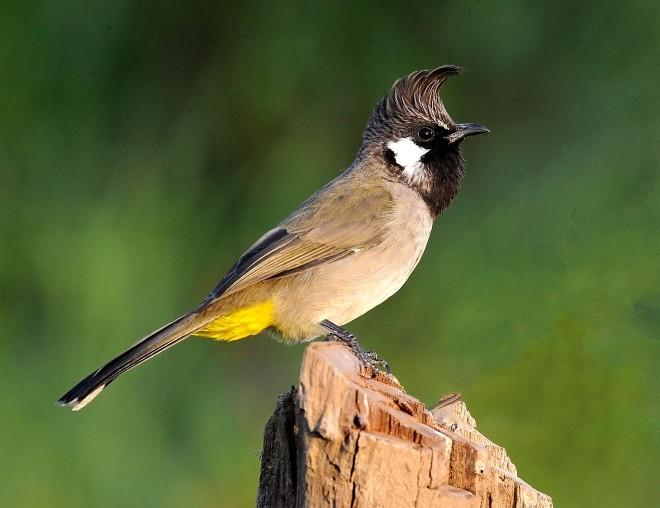 صور صور بلابل , الطف واجمل الطيور البلبل في صور معبرة