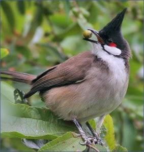 بالصور صور بلابل , الطف واجمل الطيور البلبل في صور معبرة 1362 10
