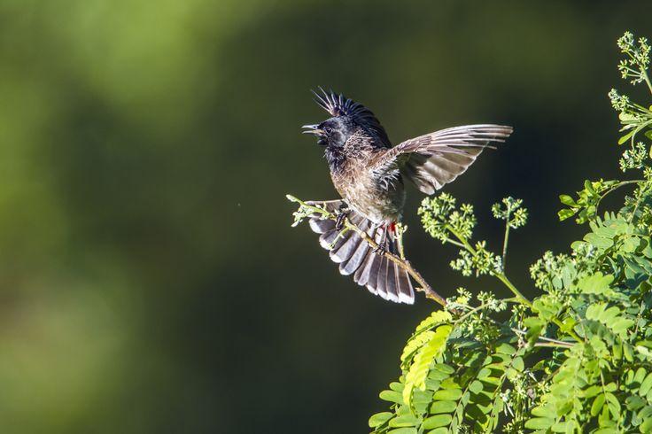 بالصور صور بلابل , الطف واجمل الطيور البلبل في صور معبرة 1362 11