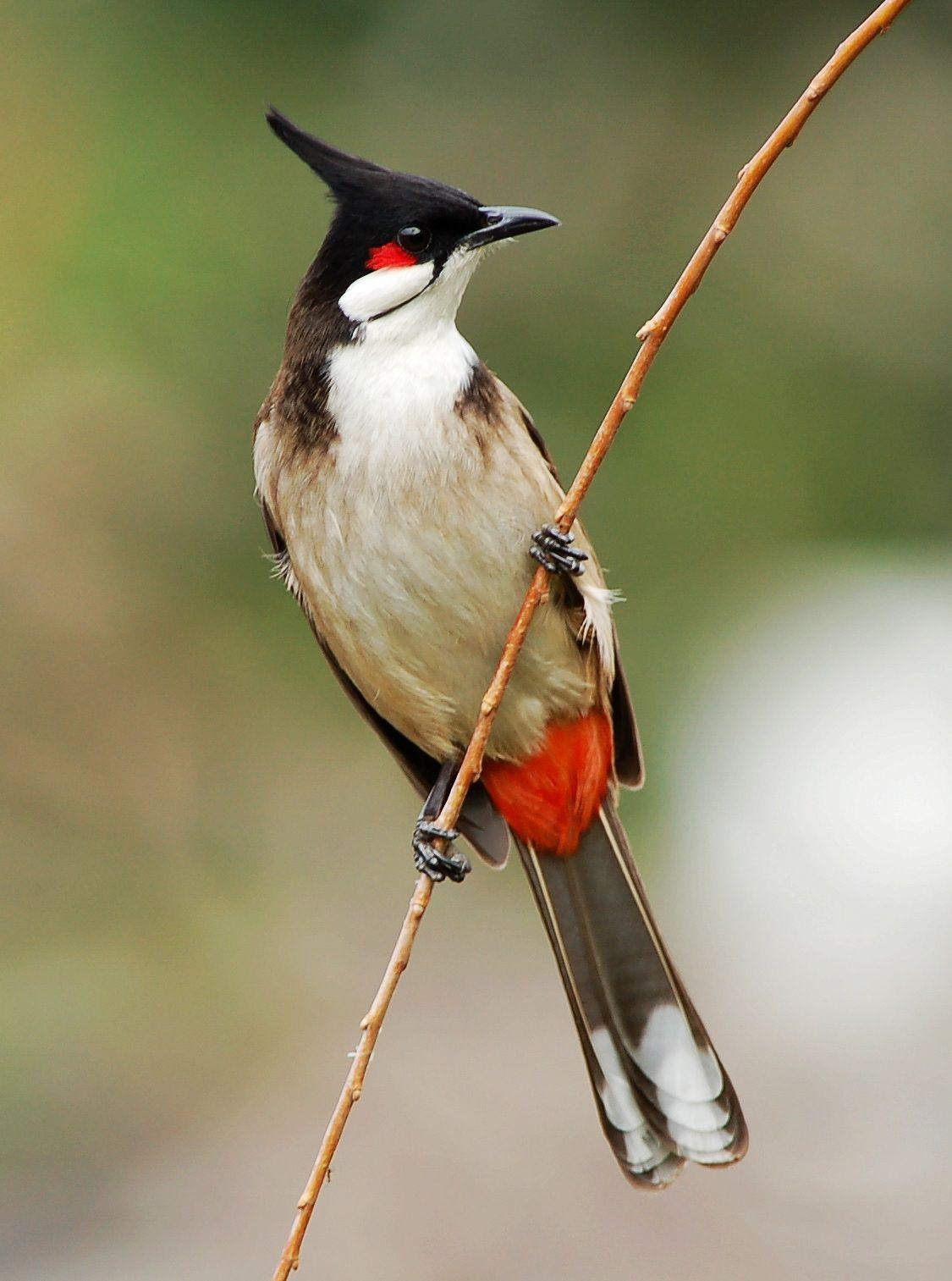 بالصور صور بلابل , الطف واجمل الطيور البلبل في صور معبرة 1362 2