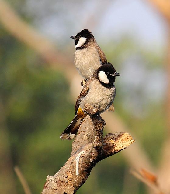 بالصور صور بلابل , الطف واجمل الطيور البلبل في صور معبرة 1362 3