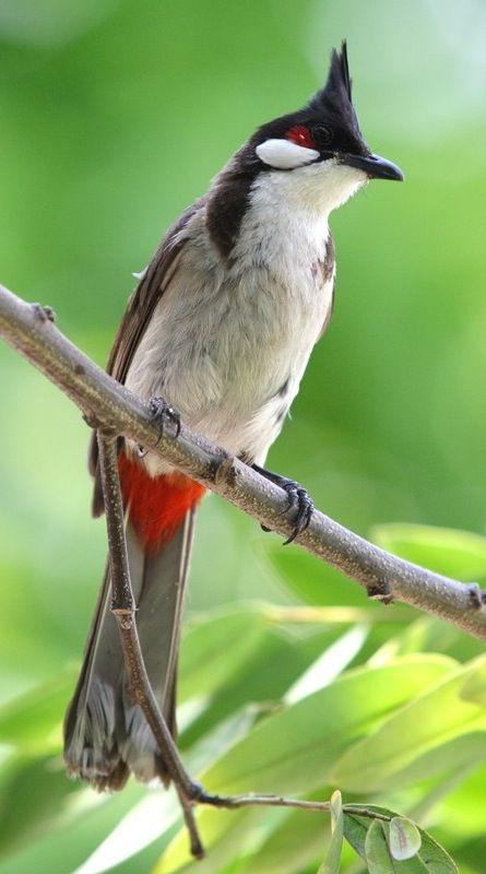 بالصور صور بلابل , الطف واجمل الطيور البلبل في صور معبرة 1362 4