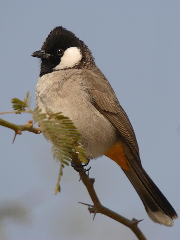 بالصور صور بلابل , الطف واجمل الطيور البلبل في صور معبرة 1362 5