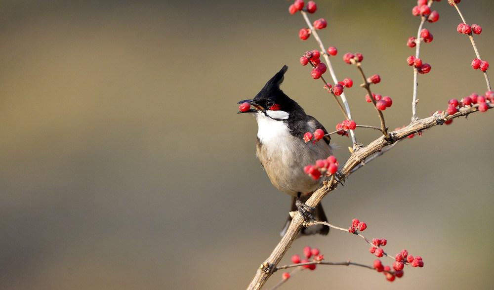 بالصور صور بلابل , الطف واجمل الطيور البلبل في صور معبرة 1362 7