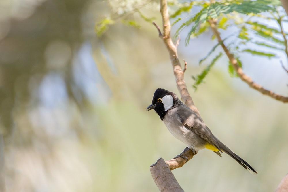بالصور صور بلابل , الطف واجمل الطيور البلبل في صور معبرة 1362 8