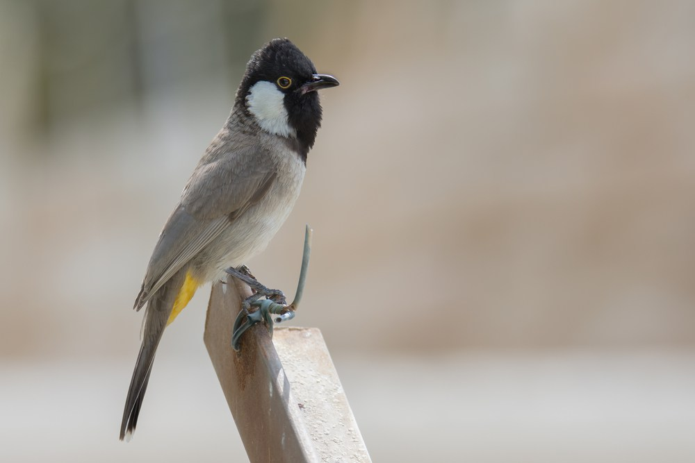 بالصور صور بلابل , الطف واجمل الطيور البلبل في صور معبرة 1362 9
