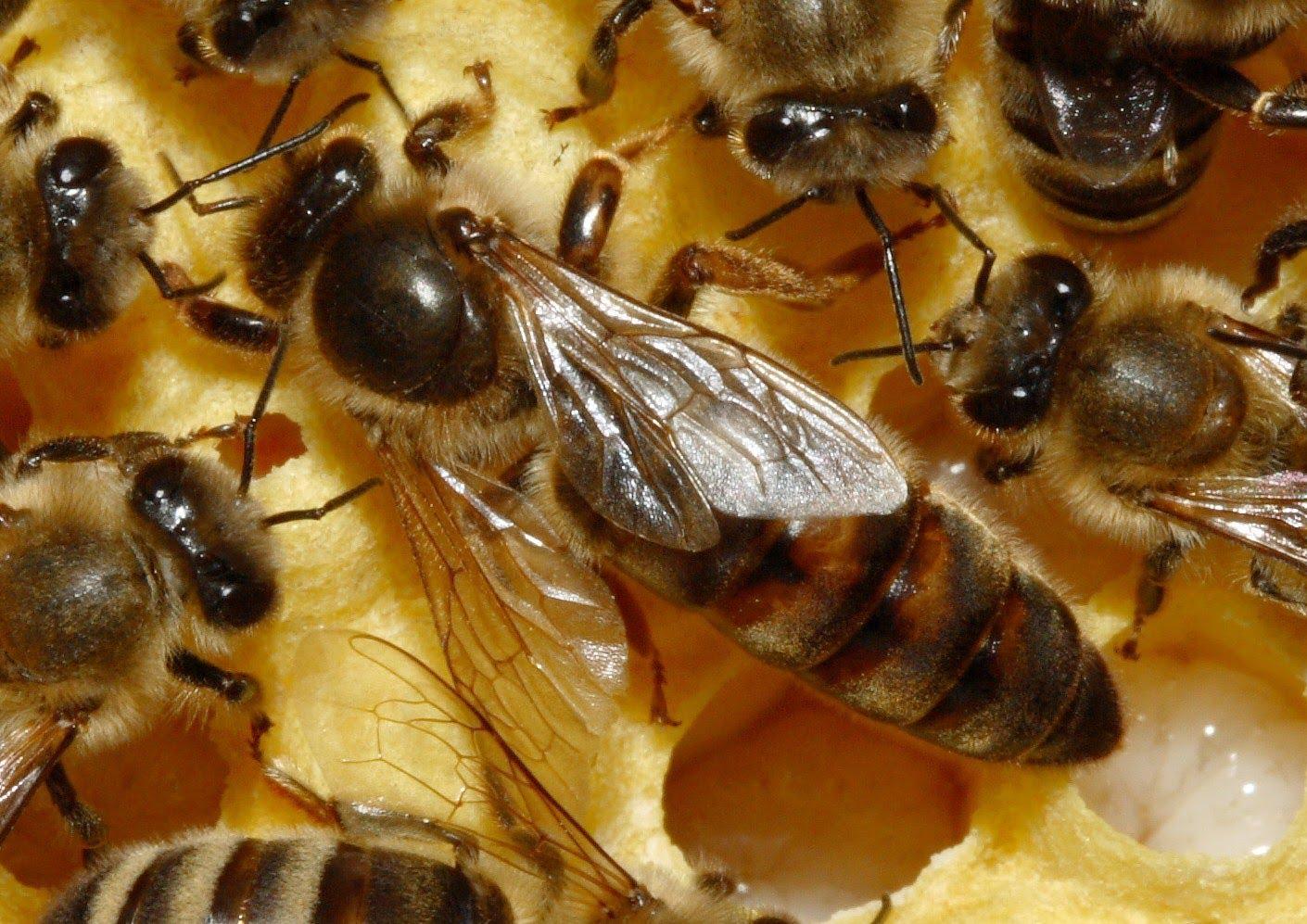 صور فوائد غذاء ملكات النحل , اهمية وقيمة غذاء ملكات النحل