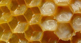 صورة فوائد غذاء ملكات النحل , اهمية وقيمة غذاء ملكات النحل