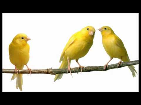صوت عصافير كناري احلى تغريد وزقزقة عصافير الكناري صور بنات