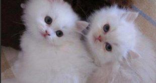 صور قطط شيرازي , اجمل صور للقطط الشيرازى