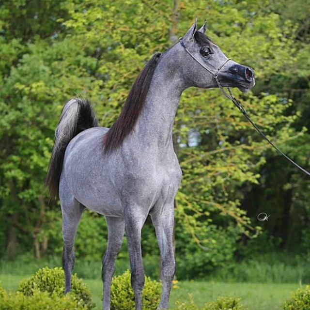 بالصور خيول عربية , الخيل العربى الاصيل 2060 11