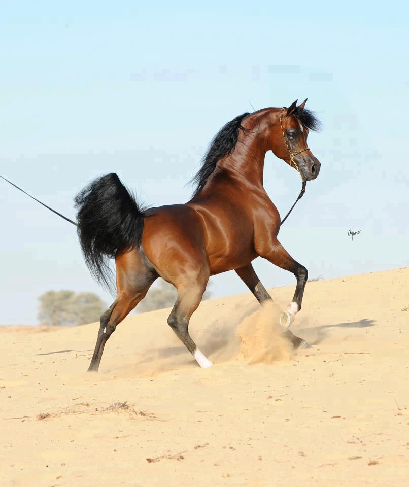بالصور خيول عربية , الخيل العربى الاصيل 2060 3