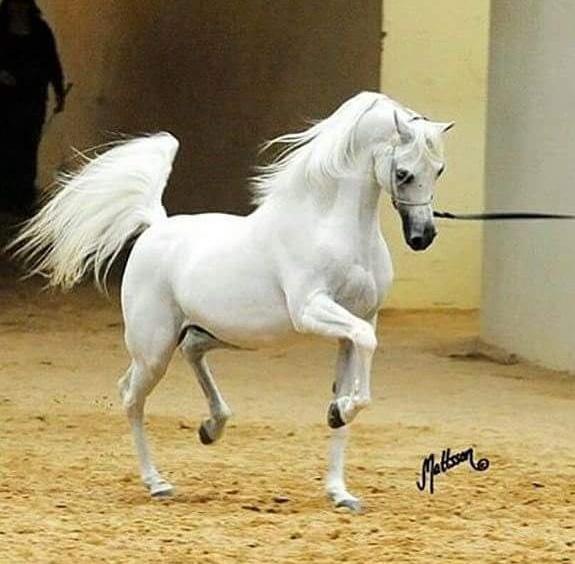 بالصور خيول عربية , الخيل العربى الاصيل 2060 6
