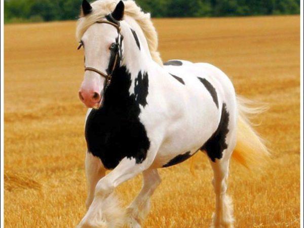 بالصور خيول عربية , الخيل العربى الاصيل 2060 7