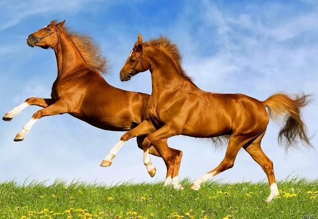 بالصور خيول عربية , الخيل العربى الاصيل 2060 8