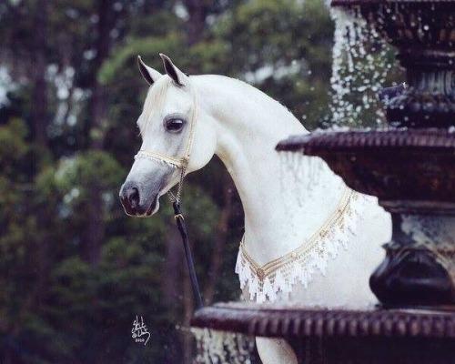 بالصور خيول عربية , الخيل العربى الاصيل 2060 9