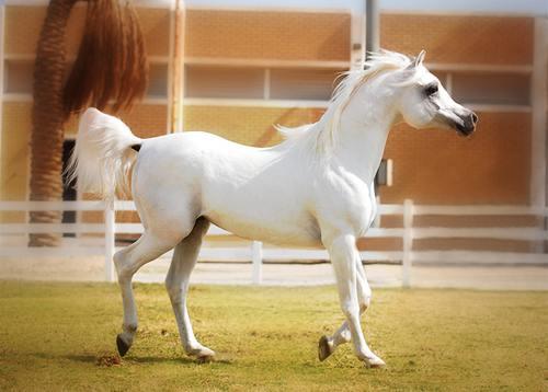 بالصور خيول عربية , الخيل العربى الاصيل 2060