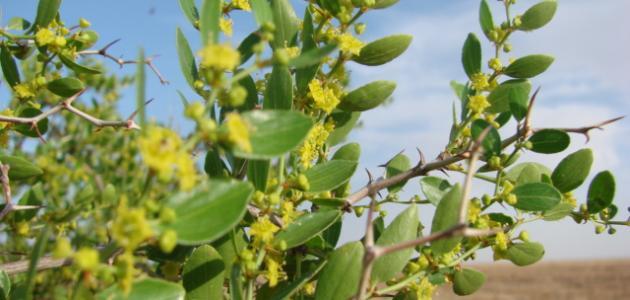 بالصور ما هو السدر , تعرف على عشبة نبات السدر وفوائدها 2146 2