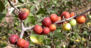 صوره ما هو السدر , تعرف على عشبة نبات السدر وفوائدها