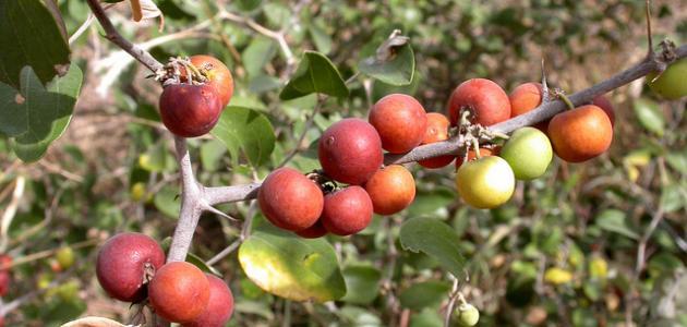 بالصور ما هو السدر , تعرف على عشبة نبات السدر وفوائدها 2146
