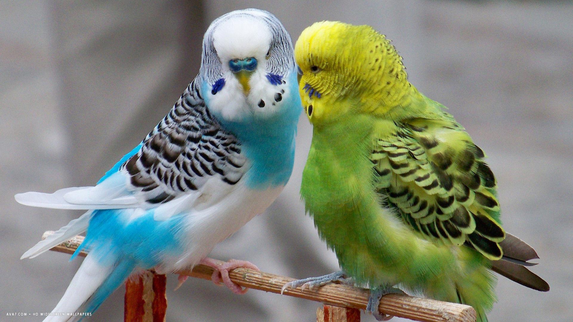 صور عصافير الزينة , هذه روائع الصور لعصافير الزينه