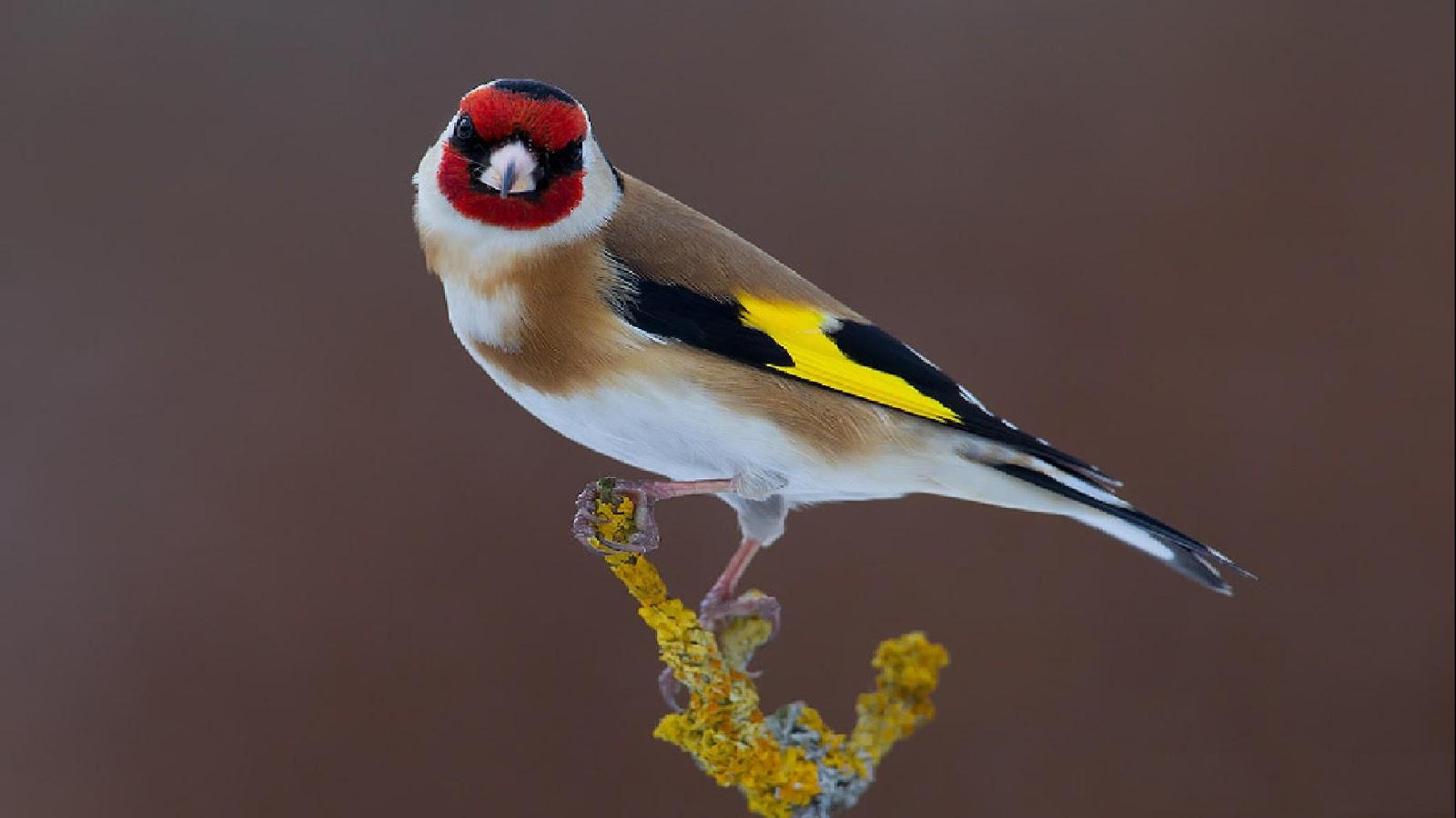 صور صور كناري , صور و خلفيات لطائر الكناري