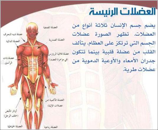 كم عدد عضلات جسم الانسان كم عدد العضلات الموجودة في الجسم صور بنات