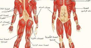 صور كم عدد عضلات جسم الانسان , كم عدد العضلات الموجودة في الجسم