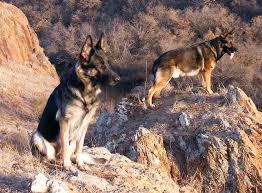 صورة انواع الكلاب , صور الكلب مختلفه