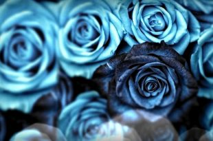 صورة تنزيل صور ورد , صور اجمل انواع الورود