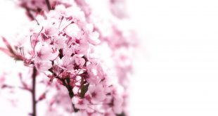 صورة اجمل وردة في العالم , صور جديدة لاجمل وردة فى العالم