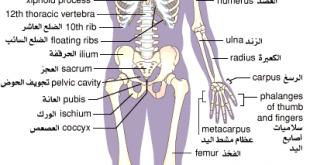صوره جسم الانسان بالصور , صور لتكوين جسم الانسان