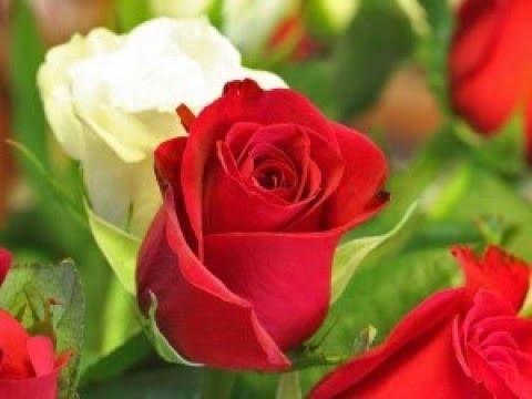 صوره عبارات عن الورد , ارق الكلام عن الورود ذات الرائحة الروعة